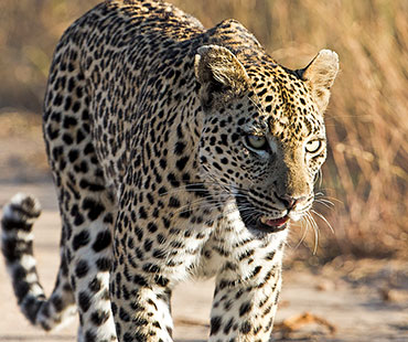 outlook-safari-packages-leopard walking